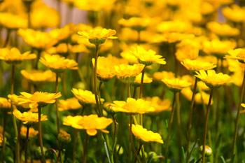 黄色い花々