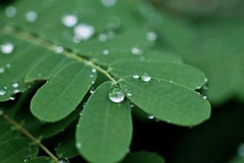 水滴をはじく葉